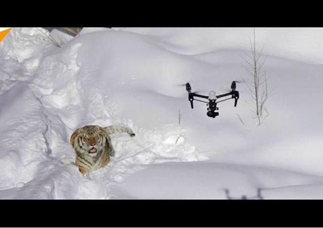 Les tigres partent à la chasse…aux drones !