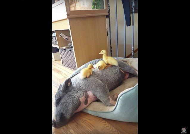 Copains comme canard et cochon