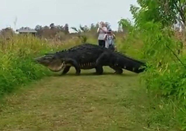 Un alligator géant déambule devant des touristes