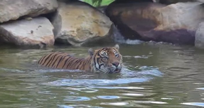 Cheeky Duck Trolls a Big Bad Tiger