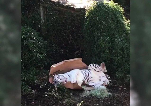 Un tigre qui se prend pour un chaton