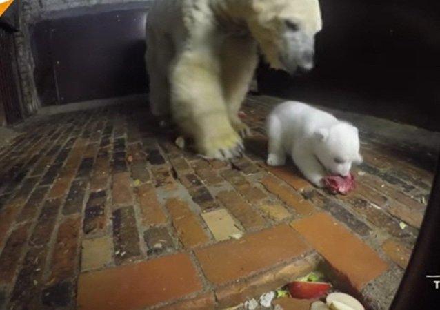Leçon de savoir-vivre pour un ourson polaire