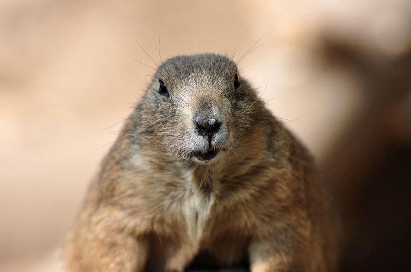 D'après une croyance populaire, si une marmotte émerge à l'entrée de son terrier et ne voit pas son ombre parce que le temps est nuageux, l'hiver finira bientôt. Par contre, si elle voit son ombre parce que le temps est lumineux et clair, elle sera effrayée et se réfugiera de nouveau dans son trou, et l'hiver continuera pendant six semaines supplémentaires.