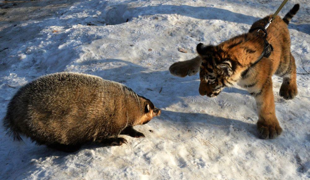 Le tigreau Cherkhan, le fils du tigre Amour, au parc safari du Primorié