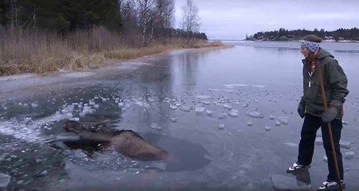 Un couple de Suédois sauve un élan pris dans la glace