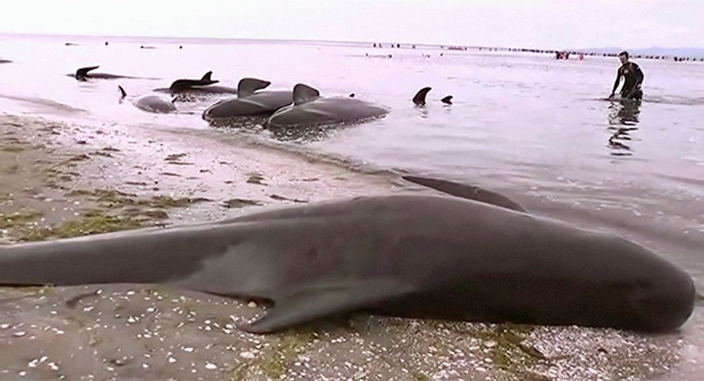 Stranded pilot whales are seen on the beach in Golden Bay, New Zealand