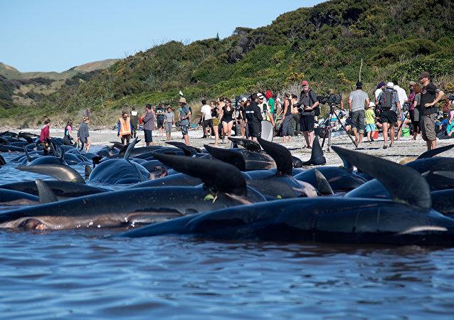 Des baleines-pilotes morts en Nouvelle-Zélande