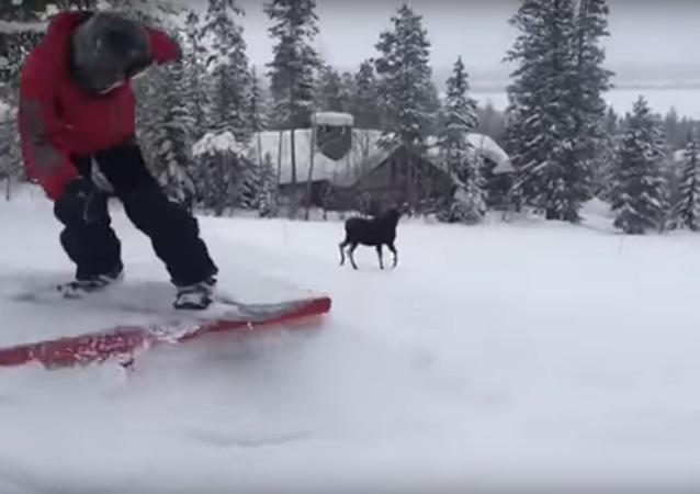 Un élan poursuit des snowboardeurs aux États-Unis
