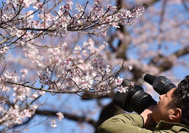Floraison des sakura au Japon
