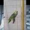 Le perroquet qui chante aussi bien que Rihanna