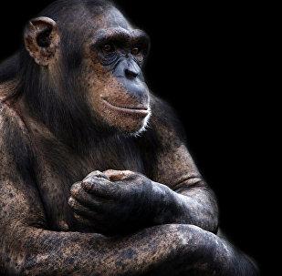 Une chimpanzée atteinte de mongolisme retrouvée au Japon