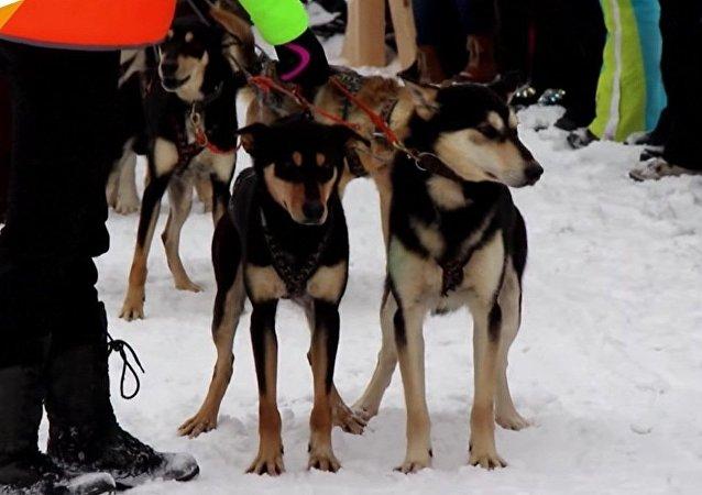 Une course annuelle de chiens de traineaux à Baïkal
