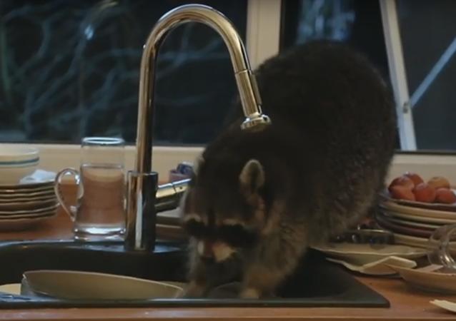 Un raton laveur obsédé par la vaisselle