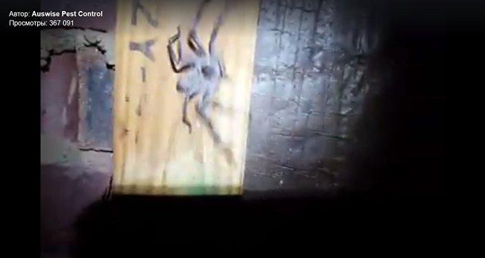 Une gigantesque araignée retrouvée dans un grenier en Australie (vidéo)