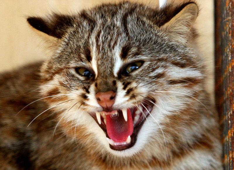 Un chat,léopard photographié dans le Primorié