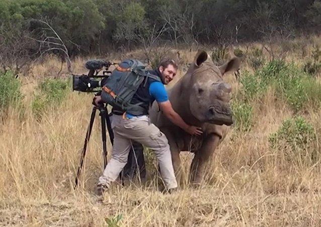 Un rhinocéros sauvage demande à un caméraman de lui gratter le ventre
