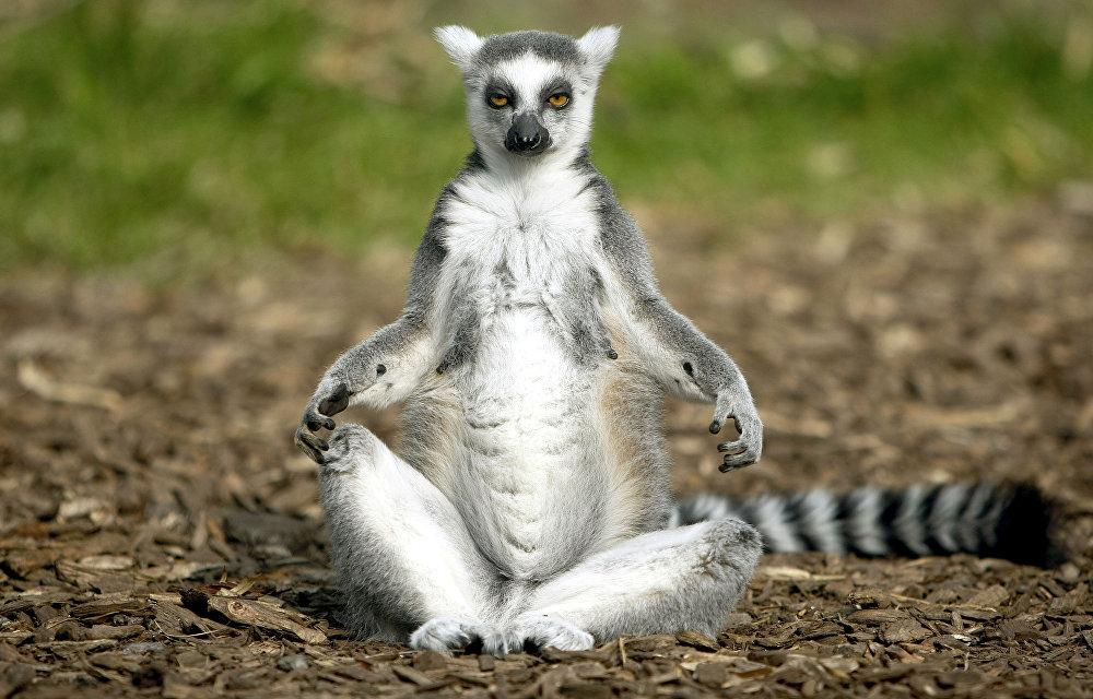 Les lémur catta aiment profiter des rayons de soleil