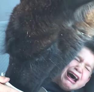 Il voulait appâter un lama, mal lui en a pris!
