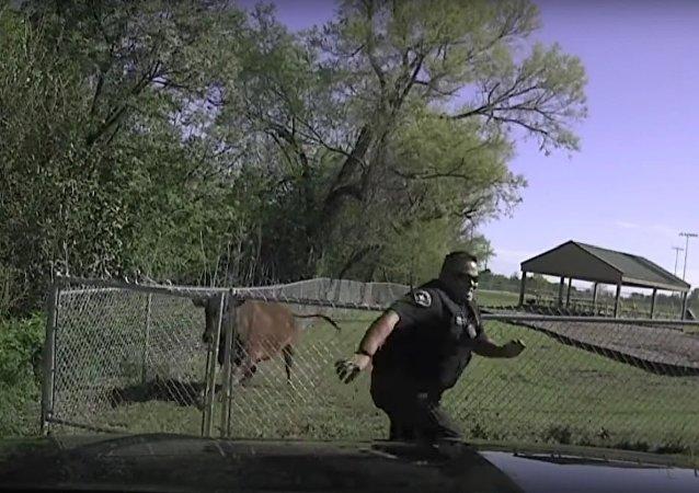 Police vs vache