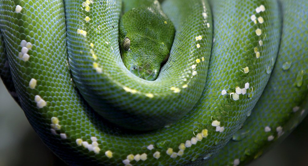 A Green Tree Python is seen in Augsburg's zoo, Germany, January 31, 2016