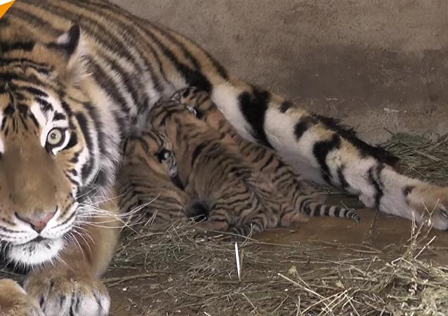 Trois bébés tigres de Sibérie sont nés dans la réserve naturelle Taigan en Crimée