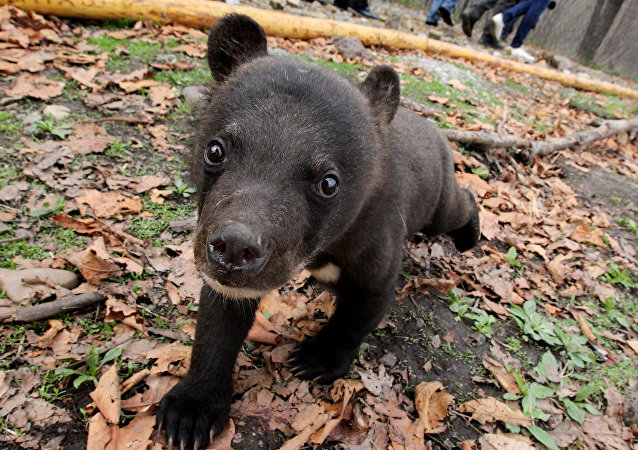 Un Américain sauve un petit ours mourant