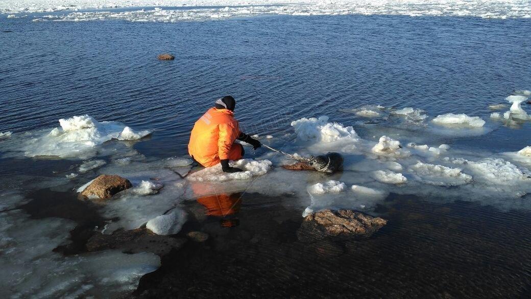 sauvetage du phoque dans le golfe de Finlande