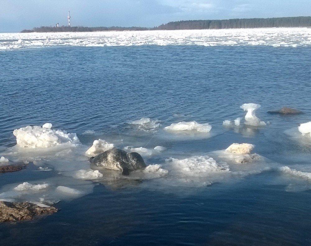 phoque dans le golfe de Finlande