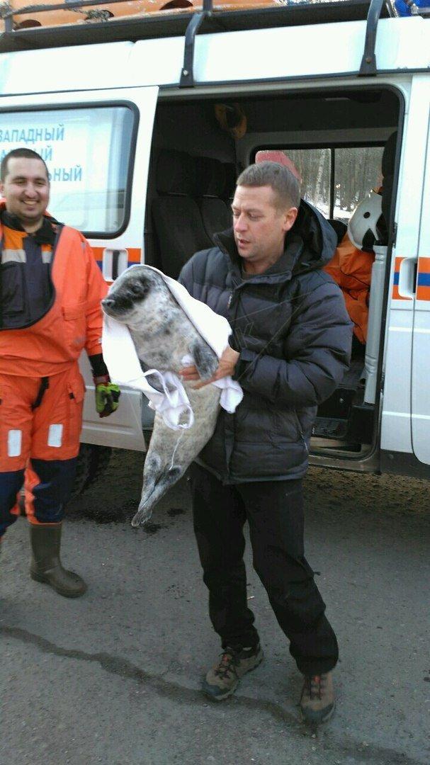 phoque rescapé dans le golfe de Finlande