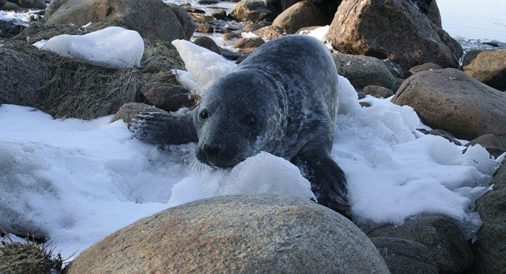 Un bébé phoque sauvé le jour de Pâques dans le golfe de Finlande
