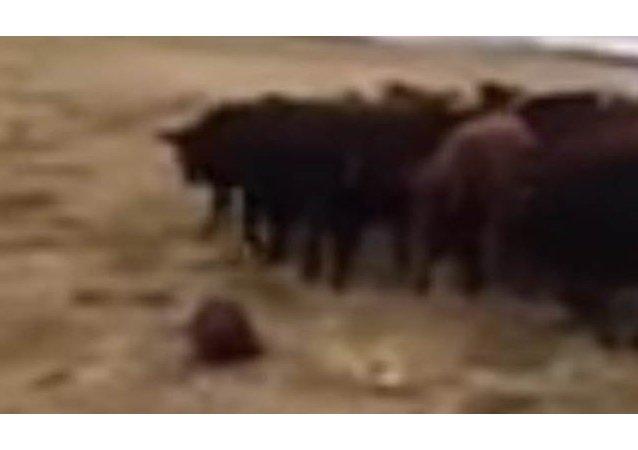 Un castor-berger