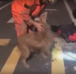 La danse victorieuse d'un chien survivant