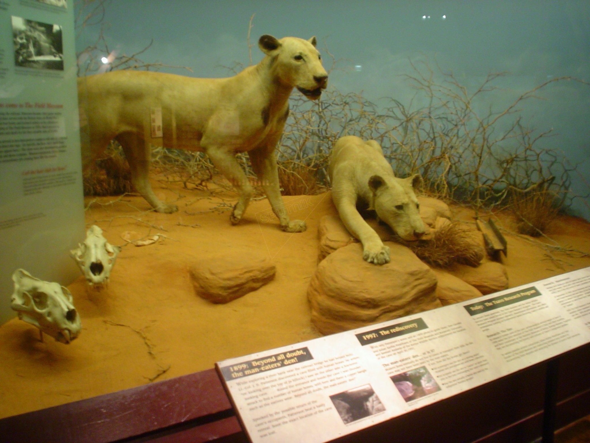 Les lions mangeurs d'hommes de Tsavo naturalisés au Muséum Field de Chicago