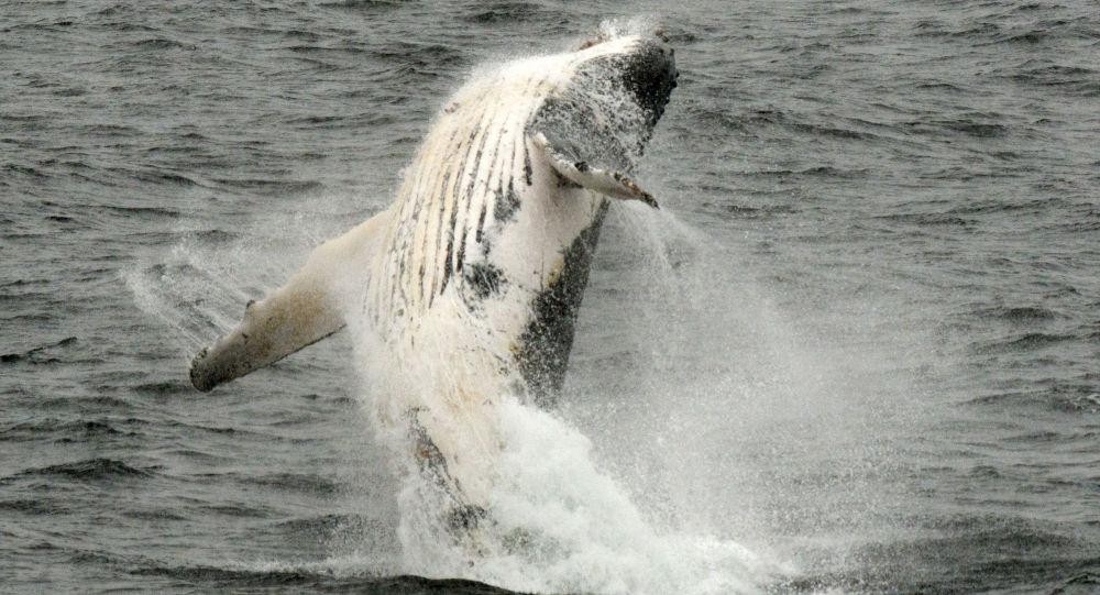 Deux baleines à bosse offrent un «show» à un bateau touristique - vidéo