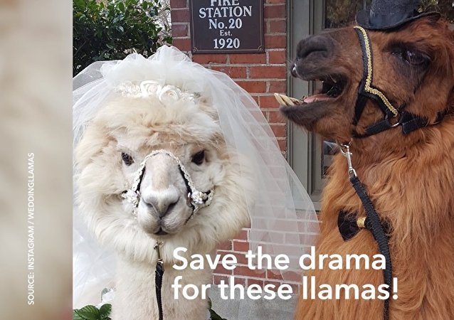 Lorsqu'on a marre des gens… aux USA, on invite des lamas comme témoins au mariage