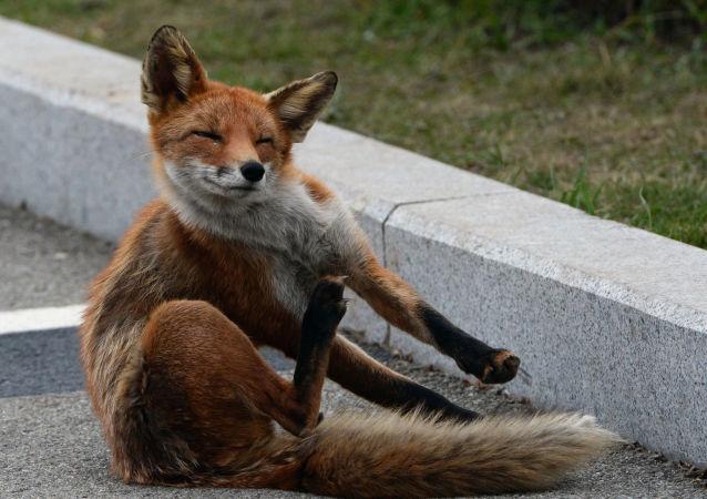 Les quémandeurs roux: des renards se sont installés près d'un océanarium sur l'île Rousski
