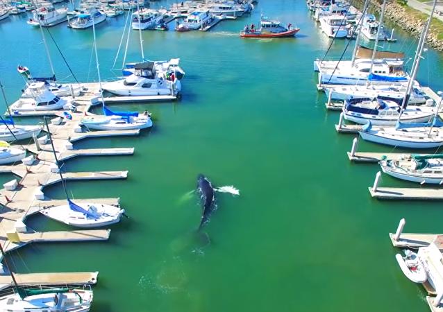 Une baleine à bosse cherche la sortie d'un port