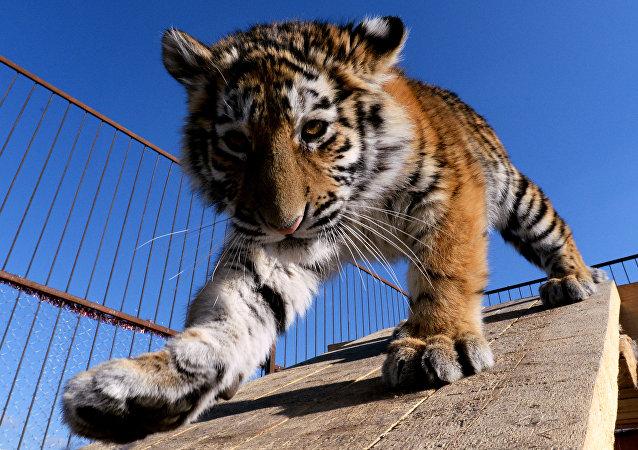 Un tigreau de l'Amour