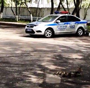 Des policiers russes participent à une opération de sauvetage… de canards égarés (vidéo)