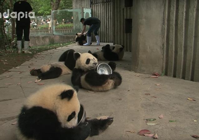 Manger, dormir, jouer, répéter! Voici l'emploi du temps plutôt sympathique de ces pandas