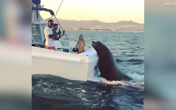 Cet énorme phoque est bien décidé à obtenir son poisson!
