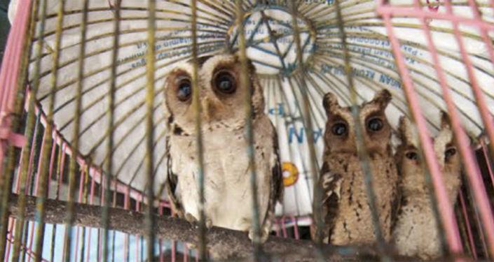 Chouettes sauvages en cage, Indonésie