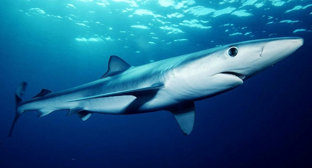 un requin bleu