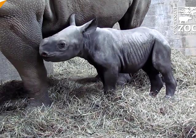 Si vous n'avez jamais vu un bébé rhinocéros âge de seulement deux jours, le voilà!