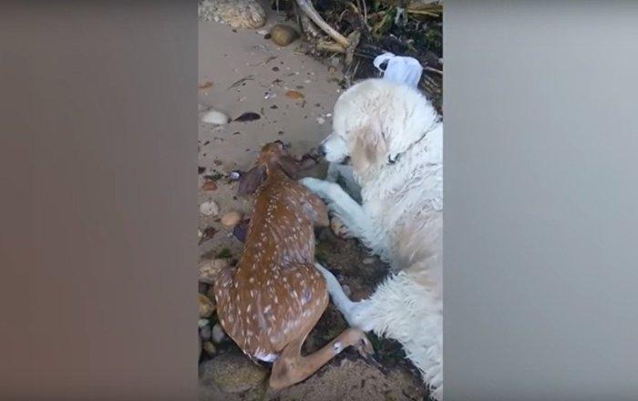 Trop mignon: ce chien fait tout pour réanimer un bébé cerf qu'il a sauvé de la noyade