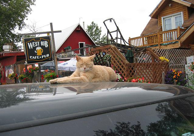 Le chat Stubbs, maire d'un village en Alaska