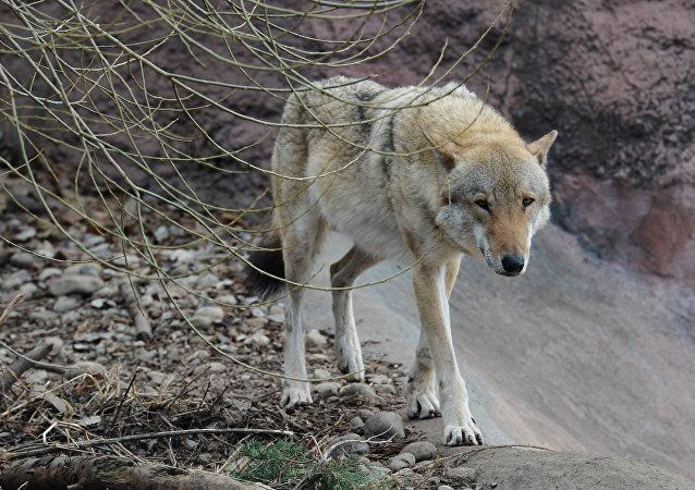 Un loup (image d'illusttration)