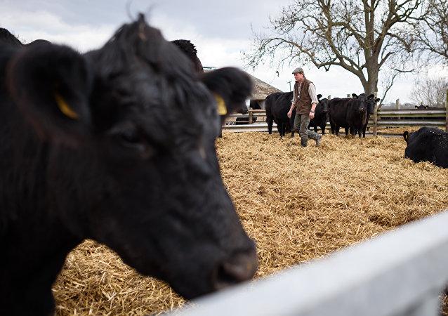 L'agriculteur britannique Tony Bulgin entre dans un étable de de vaches sur sa ferme à Thetford, Norfolk, dans le sud est de l'Angleterre, le 22 mars 2016