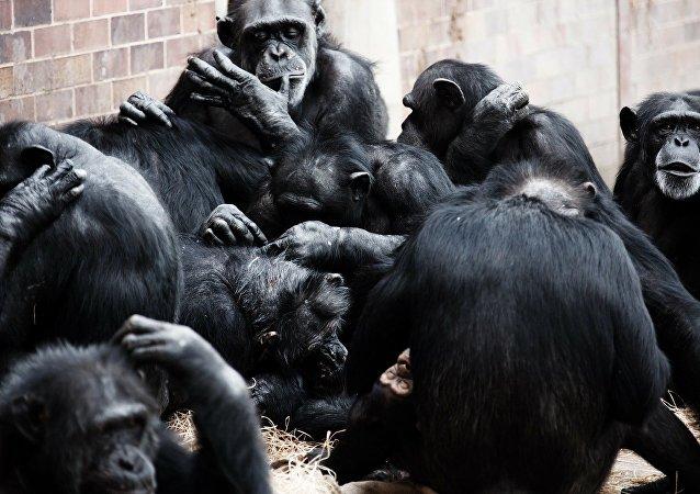 Des chimpanzés