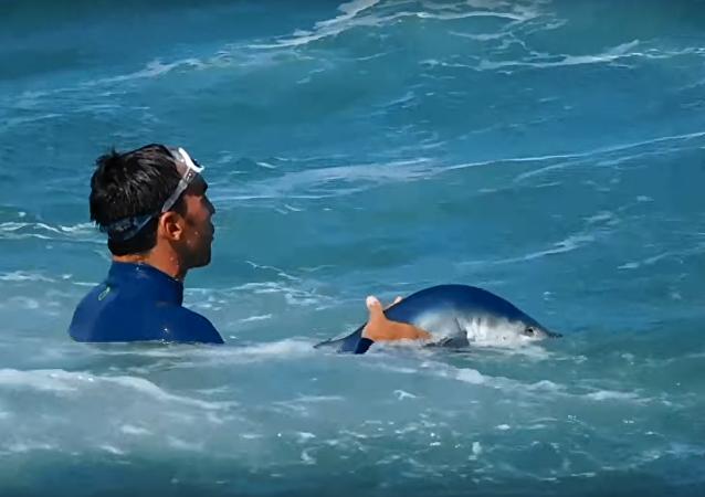 Le sauvetage d'un bébé-requin
